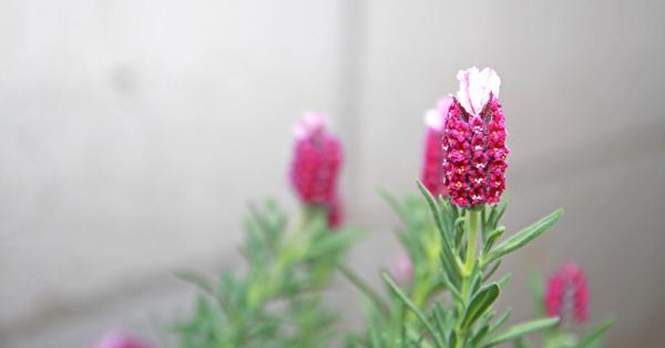 ラベンダー(開花)